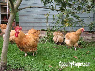 chickens-in-the-garden