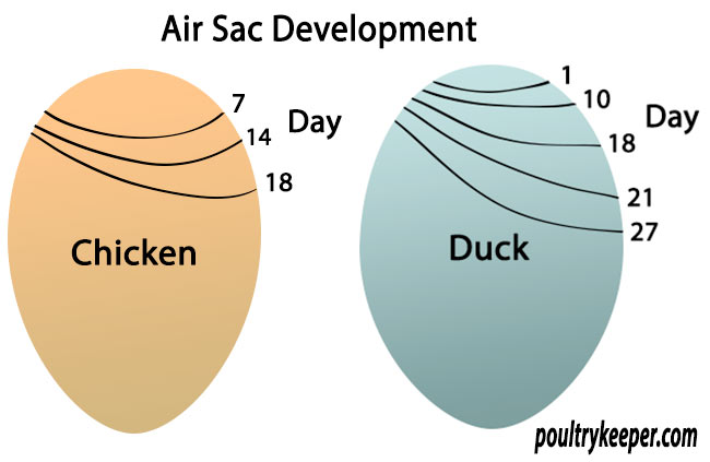Air Sac Development