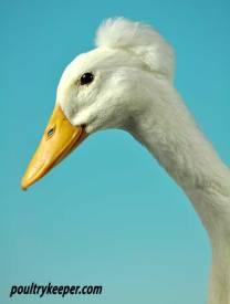 Bali Duck Head