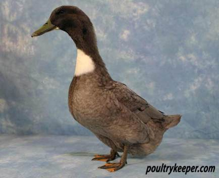 Blue Swedish Duck