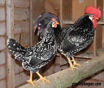 Ancona Chicken