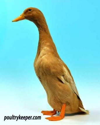 Buff Orpington Duck