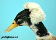 Head of Crested Appleyard Drake