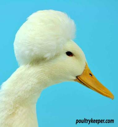Head of White Crested Duck