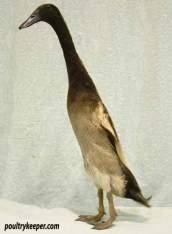 chocolate runner duck