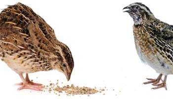 Beginners Guide to Keeping Quail