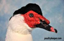 Head of Black Magpie Muscovy Duck