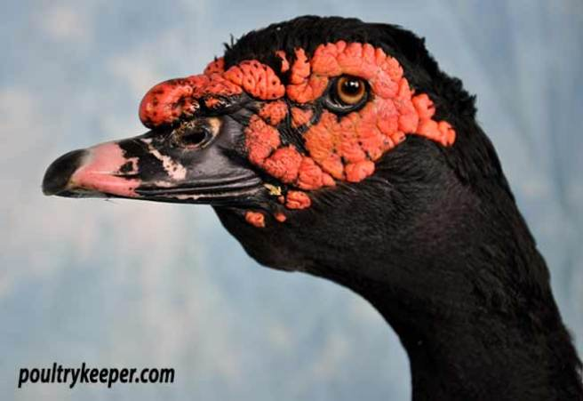 Head of Black Wild Colour Muscovy
