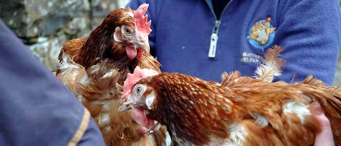 Hen-Rescue