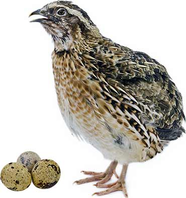 Quail with Eggs