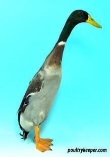 Mallard Indian Runner Duck