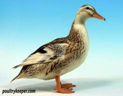 Silver Appleyard Miniature Duck