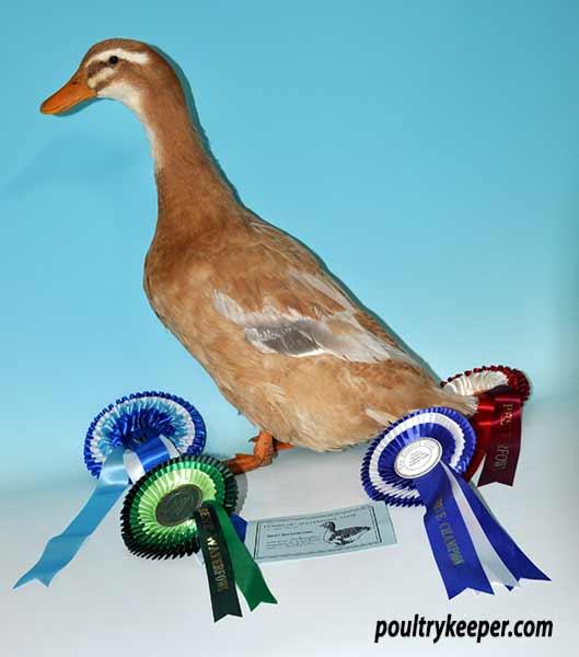 Saxony Ducks: Photos & Breed Information