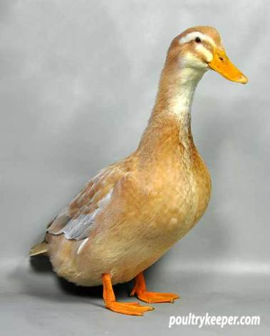 Saxony Ducks Photos Amp Breed Information