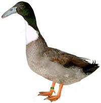 Hook Bill Duck