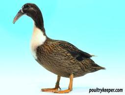 White Bibbed Dusky Mallard Hook Bill Duck