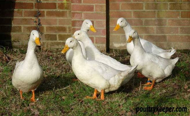 White Campbell Ducks