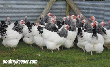 Light Sussex Hens