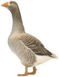 Pigrim Goose