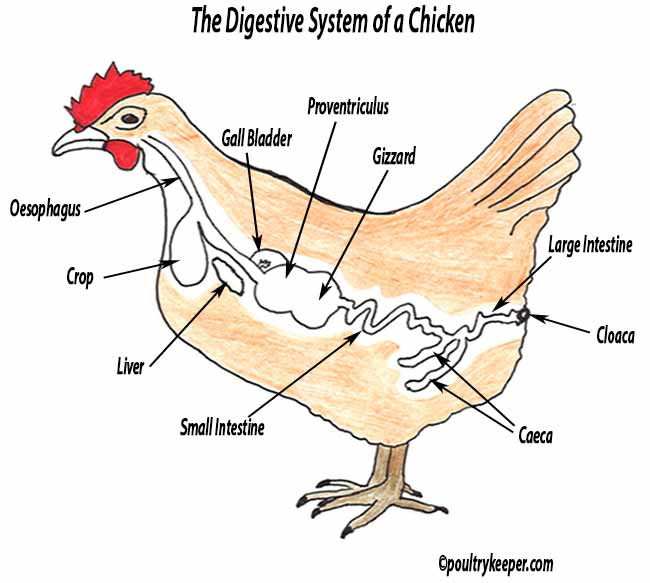 Digestive System of A Chicken