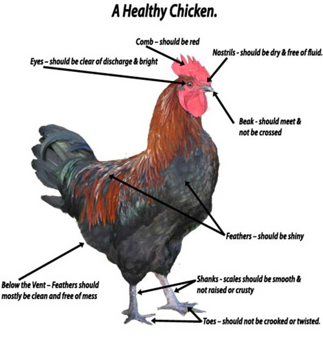 A Healthy Chicken