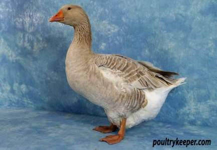 American Buff Goose.