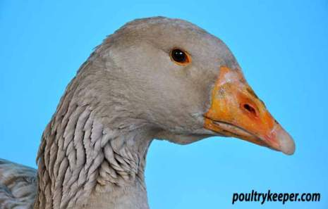 Head of American Buff Goose