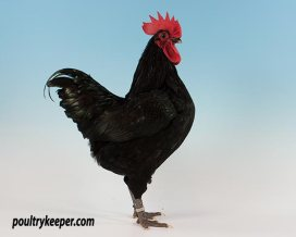 Black Australorp Bantam Male