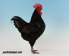 Black Australorp Bantam Male