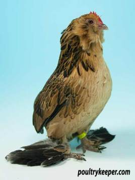 Barbu d-Everberg Belgian Bantam female.