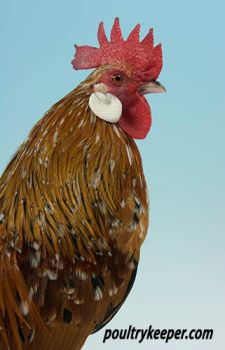 Head of Millefleur Dutch Bantam Male