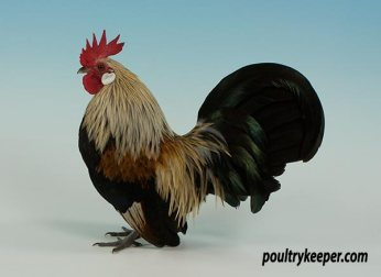 Yellow Dutch Bantam Male