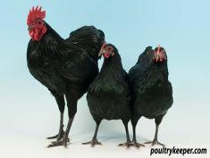 Black German Langshan Trio