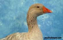 Head of American Buff Goose