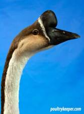 Head of Chinese Gander