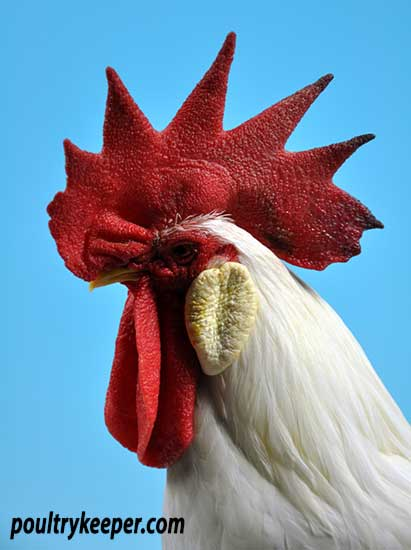 Head of White Leghorn Male