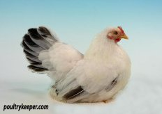 Black Tailed White Japanese Bantam