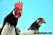 Pair of Lakenvelder chickens