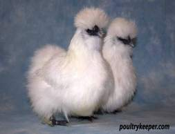 Pair of White Silkies