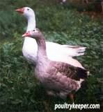 Pair of Pilgrim Geese