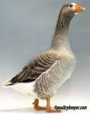 Pilgrim Goose
