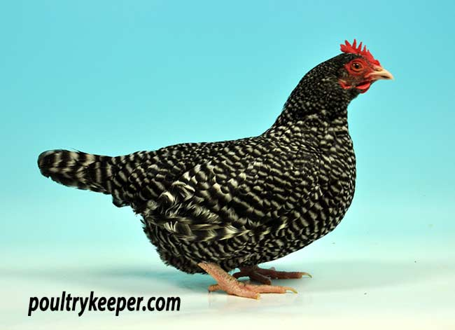 Scotch Grey Chickens