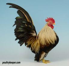 Serama Cock