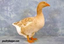 American Buff Goose