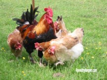 Wheaten Marans Chickens