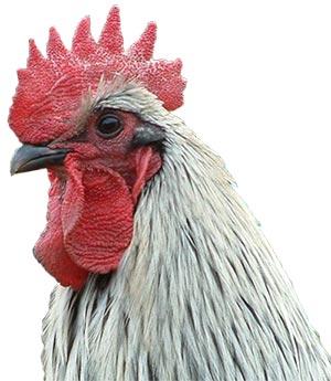 Head of Norfolk Grey chicken