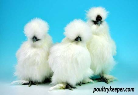 Trio of White Silkie Bantams
