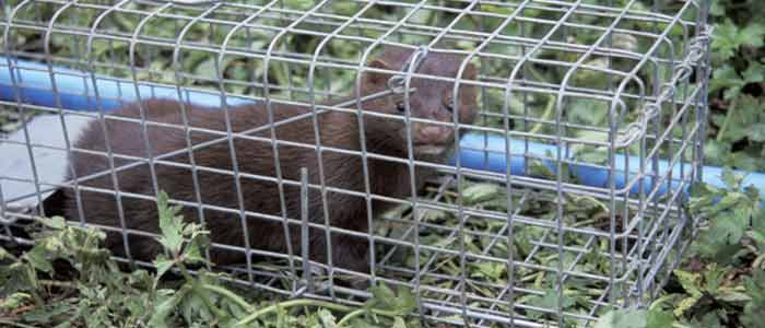 Mink Trapping Tips