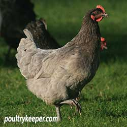 Blue Hybrid Hen