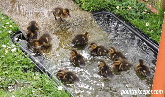 Wild Duckling Bath